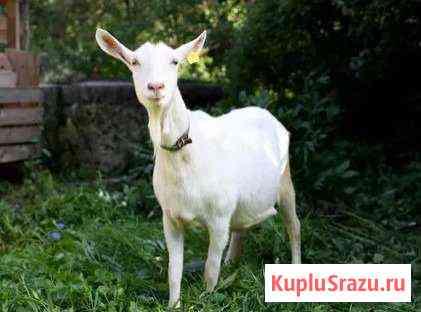 Зааненская дойная коза 2 г,Вязка и обмен Нубиец Ульяновск