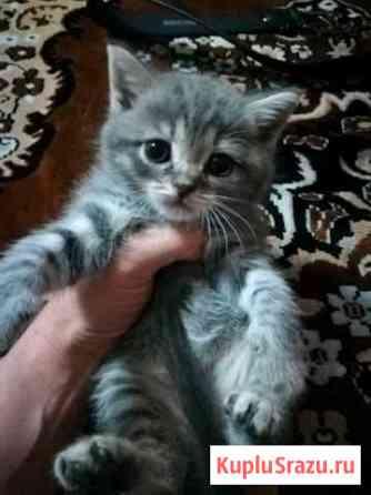Продаётся шотландский котенок Кропоткин