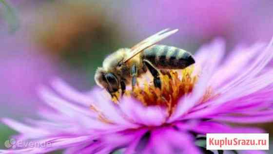 Пчел на высадку, отводки Горно-Алтайск