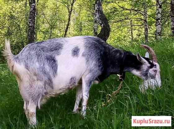 Продам коз, козлят Томск