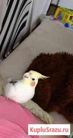 Попугай Севастополь