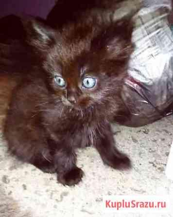 Котята от Шотландской кошки Краснодар