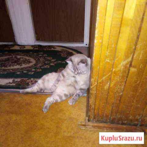 Вязка с котом Шатландец Железнодорожный