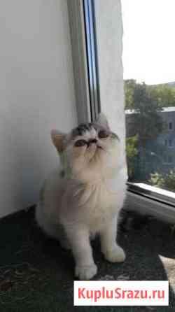 Красавец экзотический котенок перс для ленивых Екатеринбург