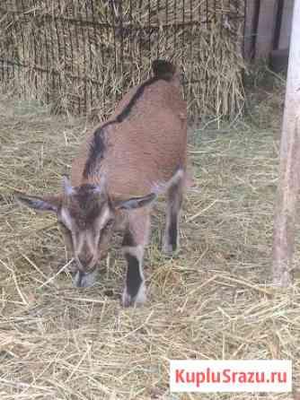 Камерунские карликовые козы Краснодар