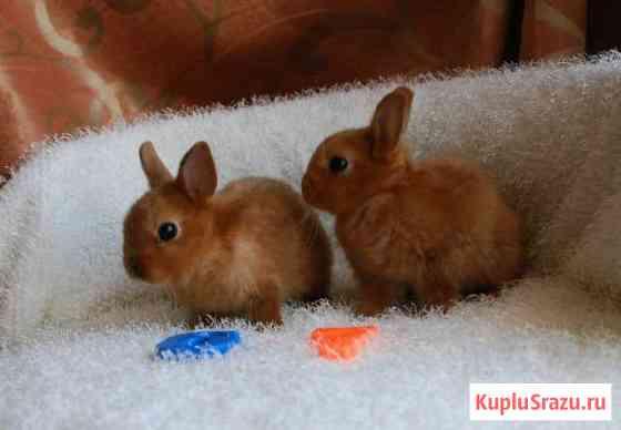 Карликовые кролики. Медовые капельки Санкт-Петербург