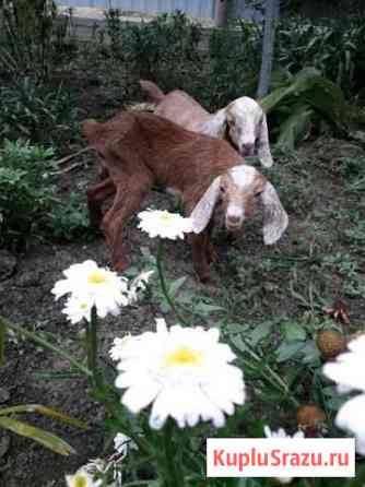 Козлики и козочки Анапа
