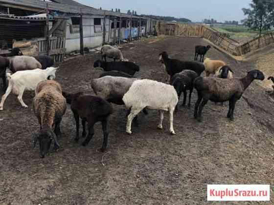 Овцы Оптом Краснодар