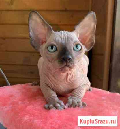 Котята канадского сфинкса Краснодар