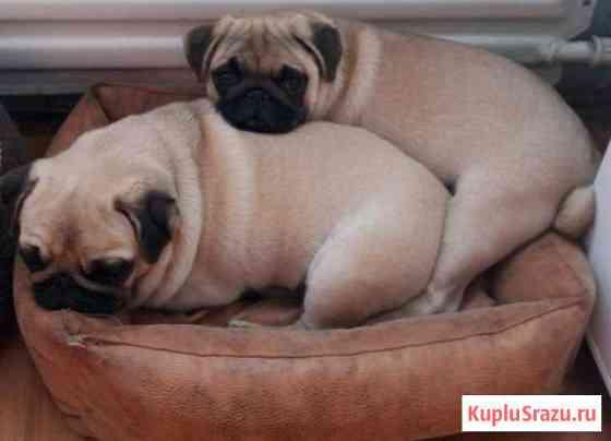 Продам в ответственные и любящие руки щенков мопса Братск