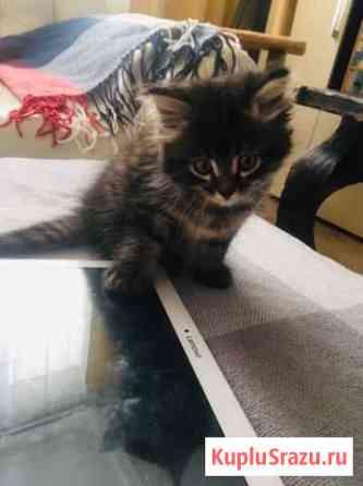 Сибирский кот Екатеринбург