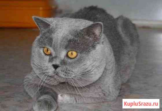 Вязка шотландских кошек Екатеринбург