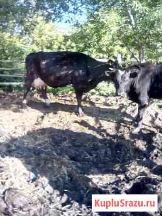Корова Омск