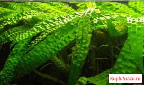 Растения, улитки Ампулярии, Гуппи Ульяновск