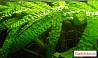 Растения, улитки Ампулярии, Гуппи