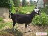 Продам молодых перспективных коз