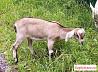 Коза 50/50 нубийская