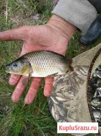 Живая рыба карп, для зарыбления водоёмов Санкт-Петербург