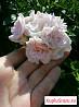 Пеларгония розебудная или Герань