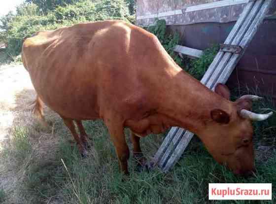 Корова Анапа