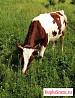 Коровы Телка