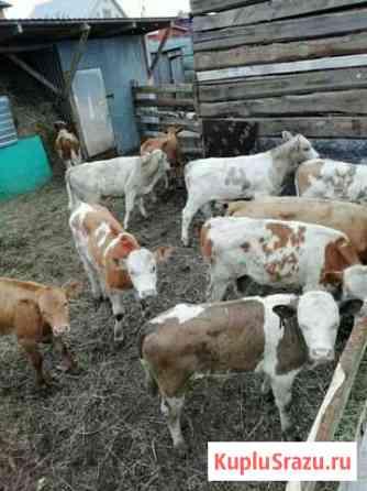 Бычки и телки мясной породы Казань
