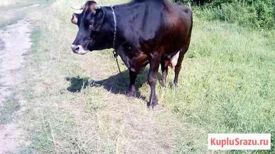Корова Выгоничи