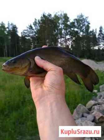 Крупный линь для прудов и озер Новая Ладога