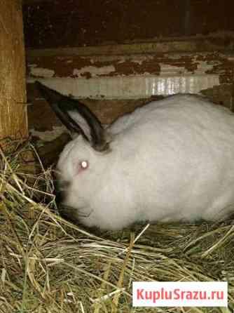 Продам кроликов Калифорнийских Муром