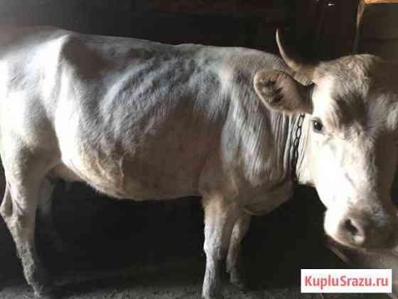 Корова Жирновск