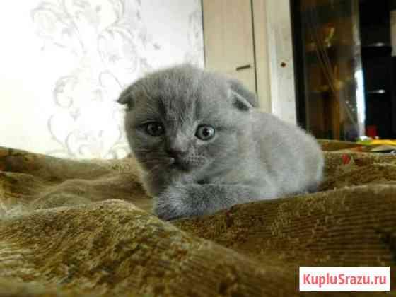 Британские котята Киров