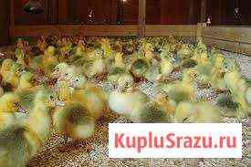 Цыплята разных видов птиц Киров