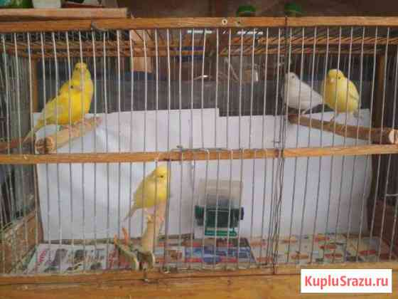 Продажа певчих птиц Севастополь