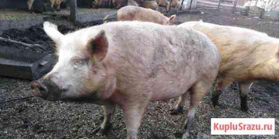 Свинина на мясо Чаплыгин