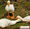 Гуси (линда) оптом, Вся птица