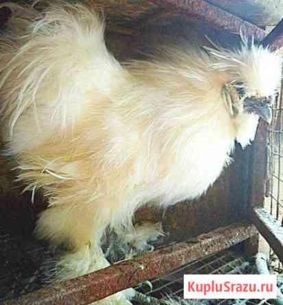 Петух порода китайская шелковая Дмитров