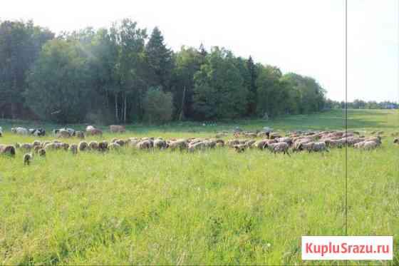 Бараны романовской породы, быки, куры, гуси, козы Дмитров