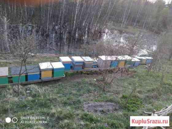 Пчелы: семьи, отводки, матки Санкт-Петербург