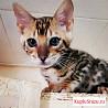 Бенгальская кошечка в любимки. С документами wcf