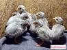Цесарка голубая (птенцы)