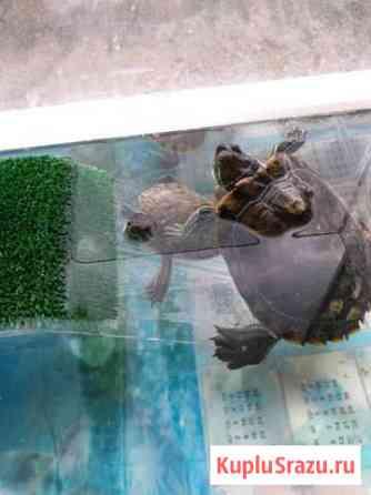 Продам в хорошие руки воденную черепаху Екатеринбург
