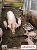 Поросята.свиноматка