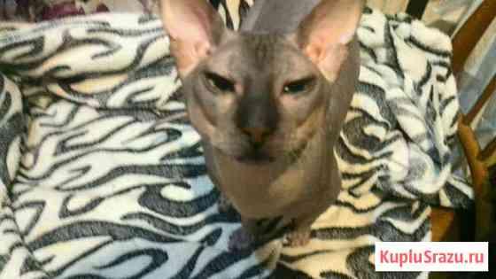 Донской кот Ставрополь