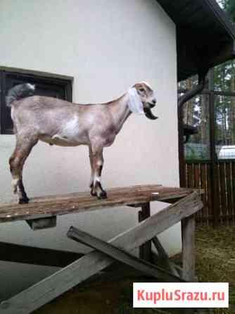 Козлик англо-нубийский Конаково
