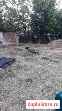 Баранов,овцы- молодняк Ижевск