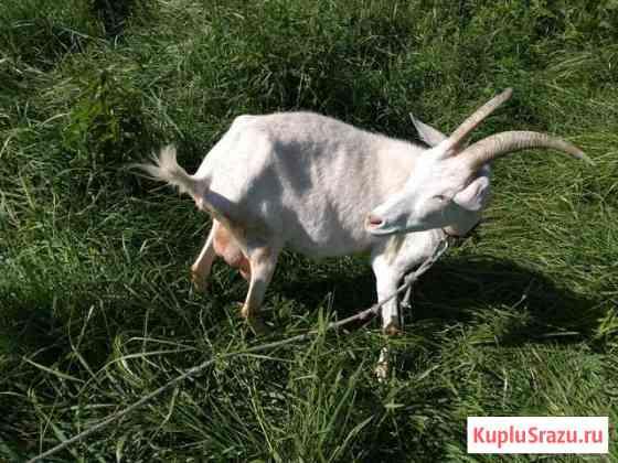 Коза дойная Большое Нагаткино