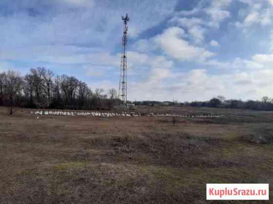 Гуси Ростов-на-Дону