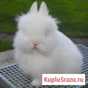 Мини кролик Ангорский лев Волгоград