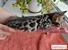 Домашние леопардики