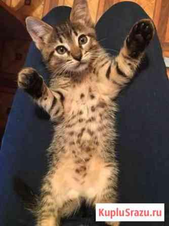 Котята сибиряки Муром